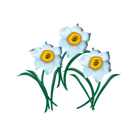 spring flower narcissus isolated on white background, illustration Illustration