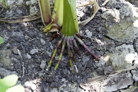outbound: large root of the corn outbound in land Stock Photo