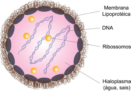 Prokaryotic cell illustration in which the indicated elements are present (plasma membrane, ribosomes, DNA, and hyaloplasm)