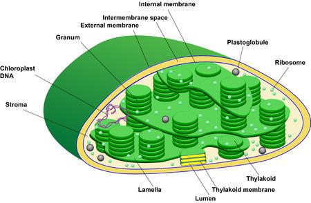 plano: Scheme illustration of a chloroplast Illustration