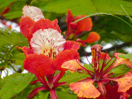 Close em flores de Hibiscus. Close in hibiscus flowers