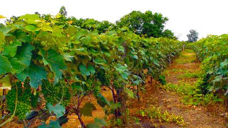 Vine grape plantation in Indaiatuba, Sao Paulo, 2012