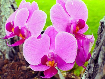 flor: Flor Orquidea (Phalaenopsis hibrido), Indaiatuba, Sao Paulo, 2012.   Orchid flower (phalaenopsis hybrid), Indaiatuba, Sao Paulo, 2012