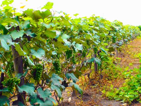 Vine grape plantation in Indaiatuba, Sao Paulo, 2010