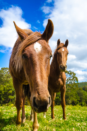 Brown horses in the meadow. Close up