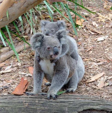 koala: Koala and baby Koala