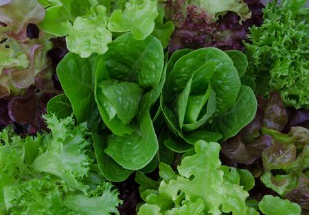 Fresh mixed green and purple salad close up