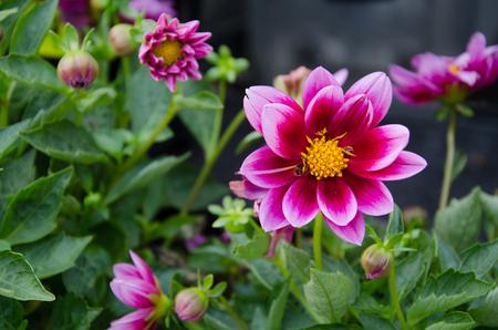 Garden Dahlia, Purple dahlia Reklamní fotografie