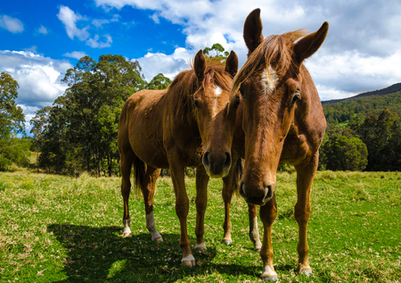 Brown horses in the meadow Close up