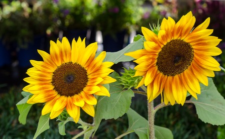 Beautiful bright sun flowers close up
