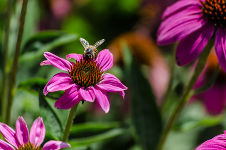 Bee on a flower Banque d'images
