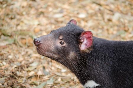 Tasmanian devil Banque d'images