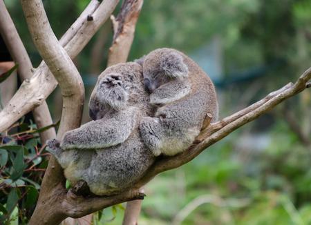 Koala and baby Koala