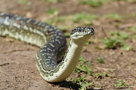 Australian Snake - Diamond Python, Carpet Python