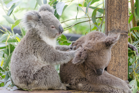 Cute Koalas Relaxing