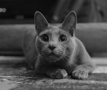 Russian Blue Cat ready to attack. Beautiful grey cat