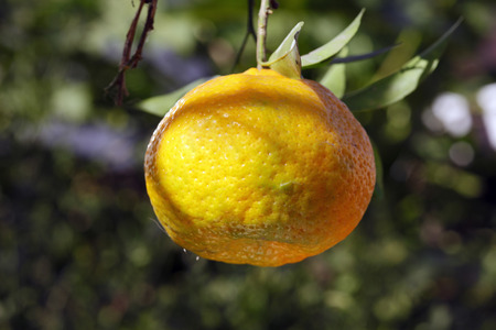 tangerine: tangerine organic Stock Photo