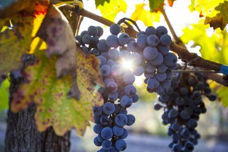 Grape plantation in the state of Mendoza, Argentina 写真素材 - 126738221