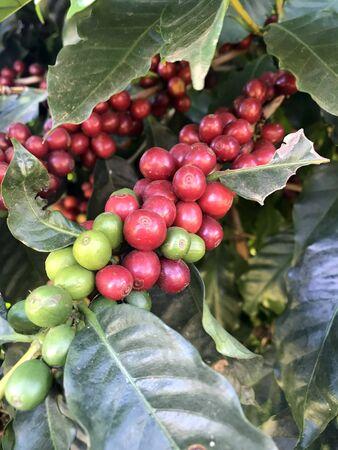 MINAS GERAIS, BRAZIL: Coffee bean on coffee tree in cafe plantation 写真素材