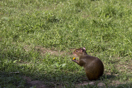 Rio de Janeiro, Brazil: Rodent known as Cutia in Brazil. Common agouti designates Several rodent species of the genus Dasyprocta. They are native to Middle America, northern and central and South America.