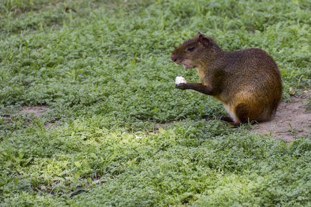 agouti: Rio de Janeiro, Brazil: Rodent known as Cutia in Brazil. Common agouti designates Several rodent species of the genus Dasyprocta. They are native to Middle America, northern and central and South America.