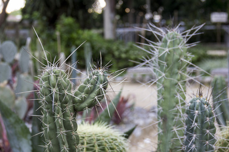 spinous: Cacti are plants resistant to drought and have many thorns. Being beautiful and hardy plants are widely used in gardening and indoor decoration as a decorative item.