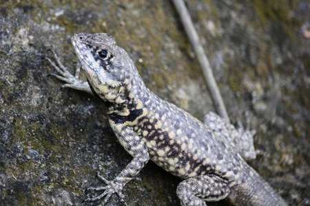 Lizard Tropidurus common in tropical forests of Brazil. This lizard was seen in an urban stretch of Atlantic Forest in Rio de Janeiro, close to the Sugar Loaf.