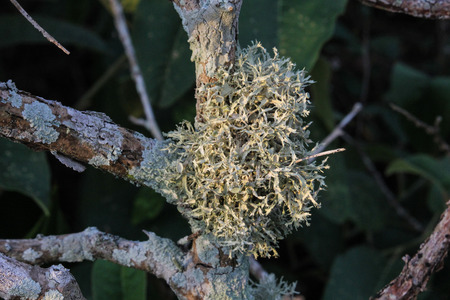 Plant gnarled branches are common in Brazilian Restinga vegetation. The occurrence of mosses is also common because it is a moist environment favorable to the emergence of this kind of vegetation. Image produced in the city of Cabo Frio, in the Lakes Regi