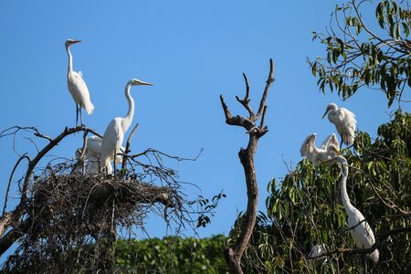 Heron, large white bird. Herons nest in tree, in an urban area near the coast of Rio de Janeiro, Brazil.