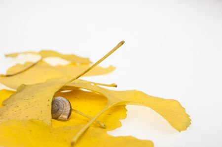 gingko: gingko leaf and snail Stock Photo