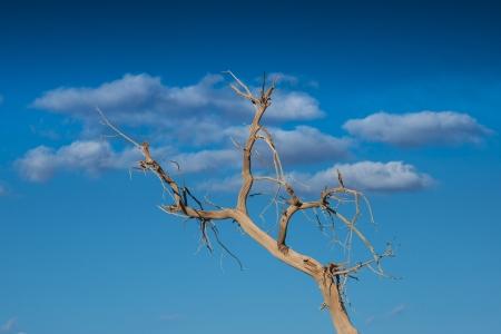 Diversifolious poplar tree