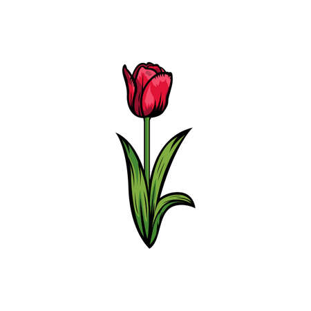 Vintage red blooming tulips concept on white background isolated Floral botanical flower. Wild spring leaf wildflower vector illustration. Idea for business visit card, typography vector, print for t-shirt.