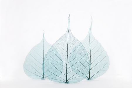 Three blue leaves photo