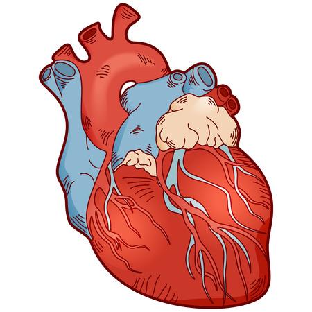 Ilustración de la anatomía humana del corazón