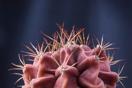 pebles: Red thorny skin like cactus plant against dark background. Selective focus.
