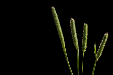 twitch: Slender meadow foxtail green tall grass against black background closeup