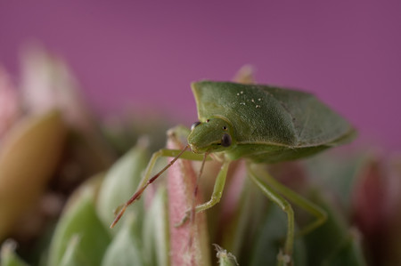 pentatomidae: Close-up of green insect stinkbug on sempervivum houseleek succulent plant against pink background. Selective focus on bug head. Stock Photo