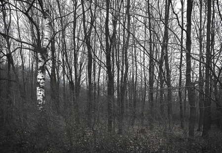 grayscale: Gloomy forest in grayscale colours Stock Photo