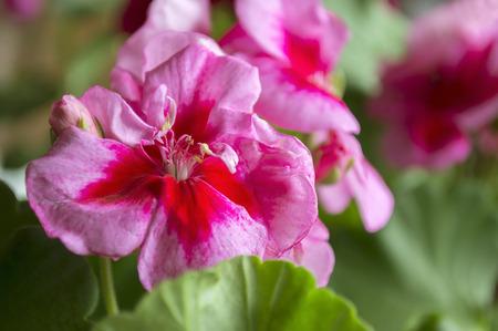 pelargonium: Pink pelargonium closeup Stock Photo