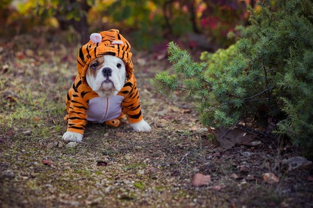 Puppy english french bulldog red white fur posing sit for camera in wild forest wearing casual clothes.Cute little bull dog walking running in sentral park in summer spring time. Stock Photo