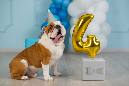 Cute english bulldog celebrating his 4 birthday party dog happy sitting in studio performance Foto de archivo