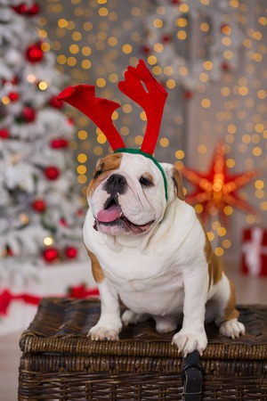 dog breed English bulldog under the Christmas new year tree sitting on basket close to presents happy smiling.