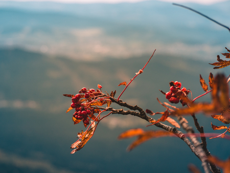 Rowanberry in autumn colors