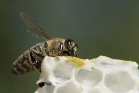 pollinator: Detail shot of a Honey Bee