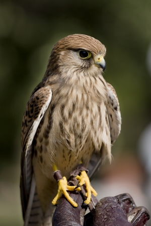 Kestrel perched on falconer s glove