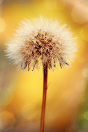 Detail shot of past blossom dandelion on yellow background with bokeh Standard-Bild