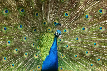 Peacock with spread open tail