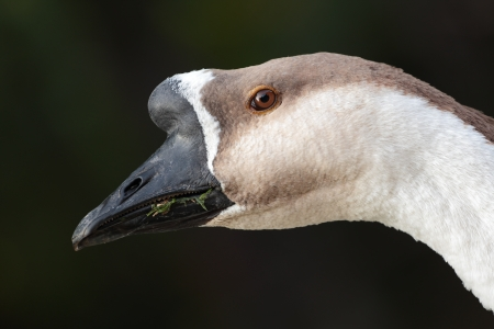 Close-up of a brown gooses head