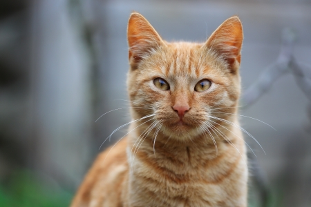 Close-up shot of a red striped cat