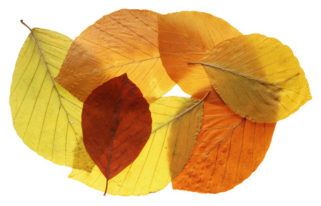 Composition of autumn colorful leafs isolated on white
